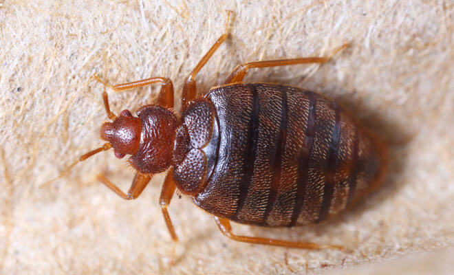 Meaning of dreaming about bed bugs