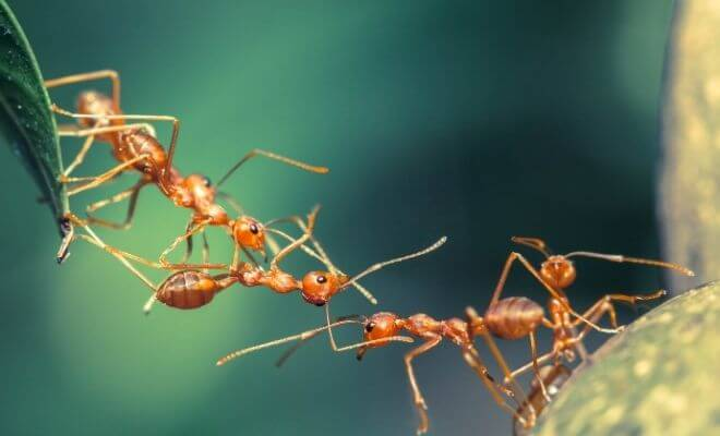 Meaning of dreaming about fire ants